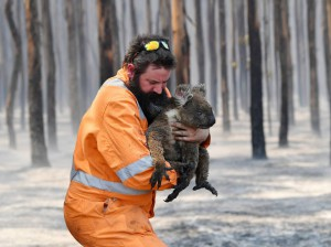 Koala rescue on Kangaroo Island