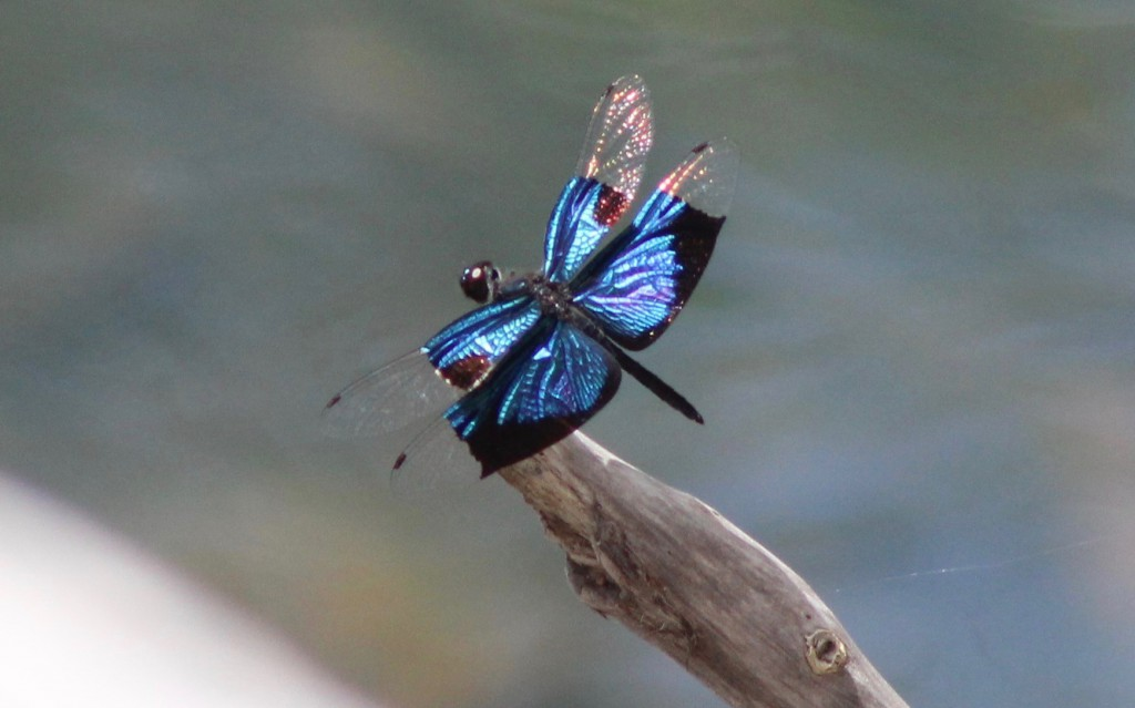 ... and not forgetting the invertebrates! The jeweel flutterer, Rhyothemis resplendens. Photo Pam Cox.