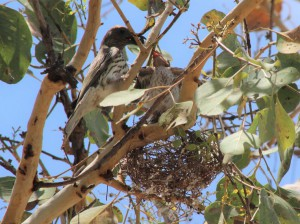 Figbirds at nest. Photo Pam Cocks.