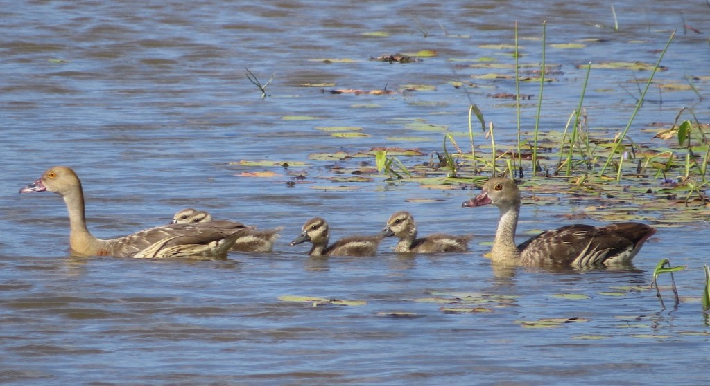 Mundy Creek whistling duck family. Photo Bernadette Boscacci.