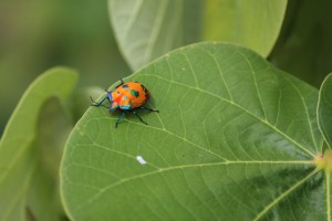 Female harlequin bug. Photo M. Copnell.