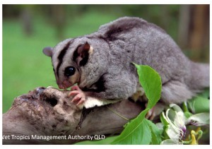 Mahogany Glider, Wet TropicsManagement Authority.