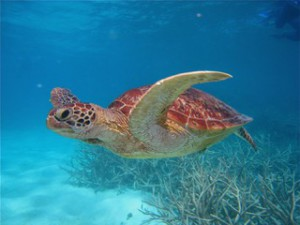 Green turtle, GBRMPA photo