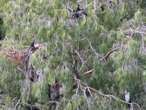 Darters in nest tree Photo P. Cocks