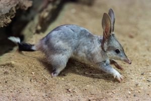 Greater bilby. STBF photo.