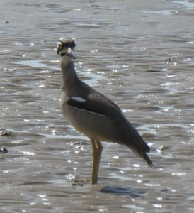 Beach stone curlew at Lugger Bay. Photo Margaret F.