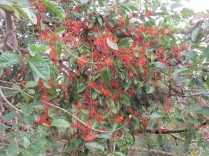 Red Mistletoe Photo L. Downes