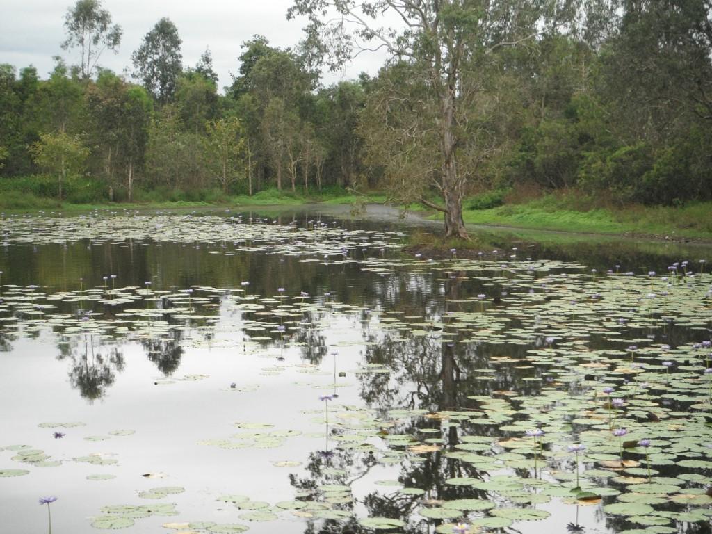 Tyto Wetlands water lilies