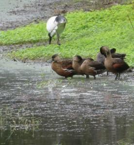 Wandering Whistle Ducks and Ibis Photo M. Flecker