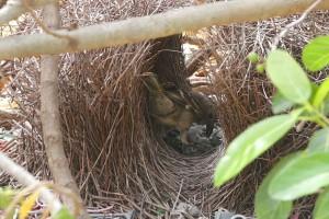 Bowerbird in bower Photo M.Tattersall
