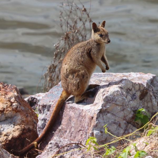Rock Wallaby Photo M.Tattersall